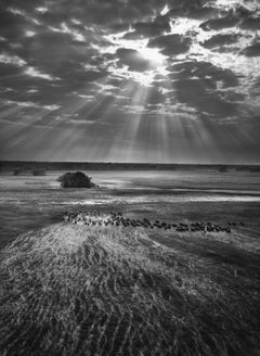 Herd of Buffalos, Kafue National Park, Zambia, 2010