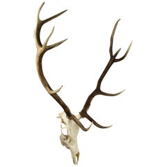 Selection of Large Deer Skulls and Antlers, 20th Century