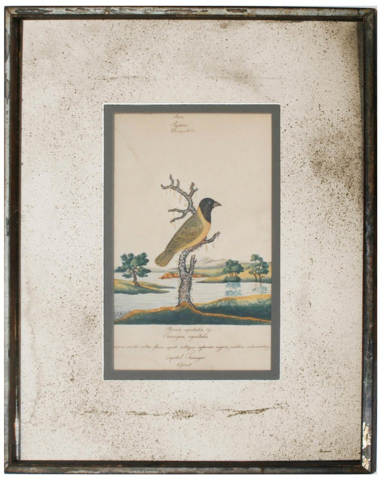A series of four William Goodall watercolor paintings of birds with vintage speckled smoked bronze mirror mats and matching mirrored frames. The birds include a Tangier, a Parakeet, a Poe Bird-Eater, and a Green Creeper. The artist hand-scripted the