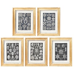 "Set of Five Prints from ""Art Forms in Nature"" by Ernst Haeckel, 1899"