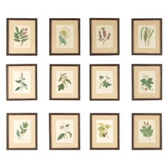 Set of 12 18th Century Botanical Engravings by Woodville