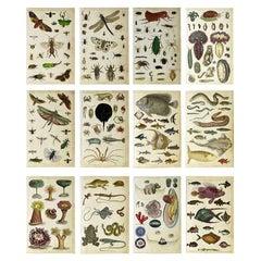 Set of 12 Antique Natural History Prints, 1847