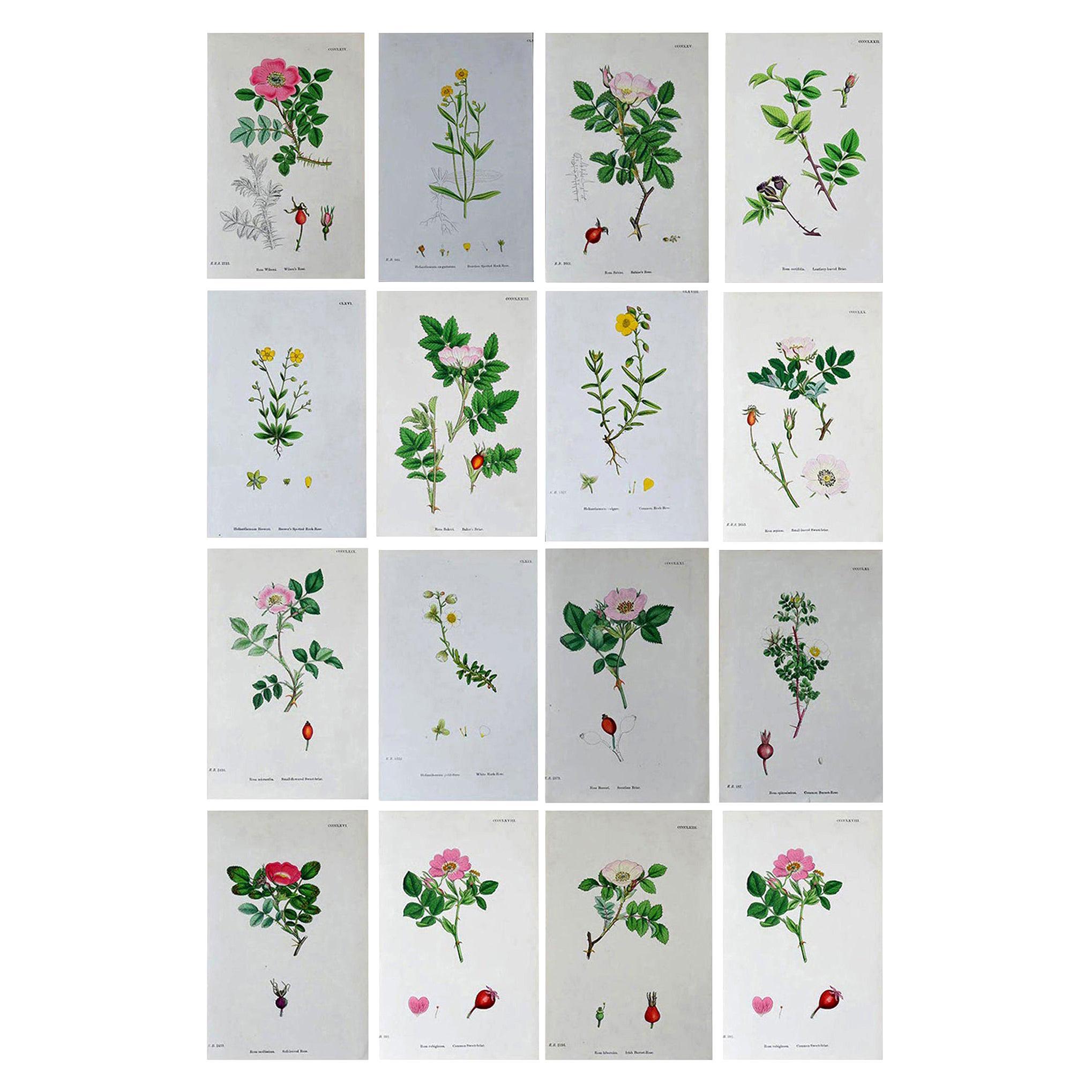 Set of 16 Original Antique Botanical Prints 'Roses', circa 1850