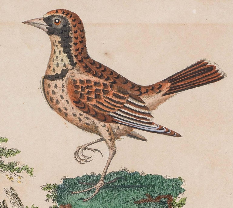 European Set of 18th Century Engravings of Exotic Birds by George Edwards and Martinet For Sale