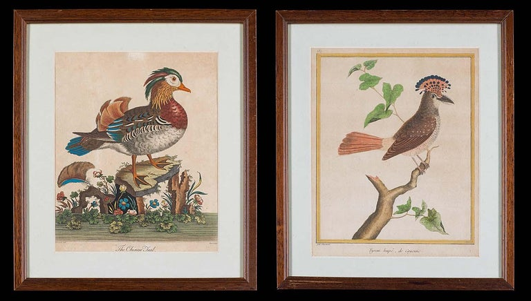 Set of 18th Century Engravings of Exotic Birds by George Edwards and Martinet For Sale 2