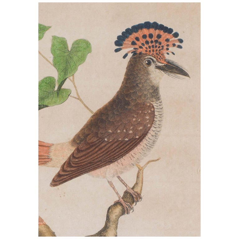 Set of 18th Century Engravings of Exotic Birds by George Edwards and Martinet For Sale