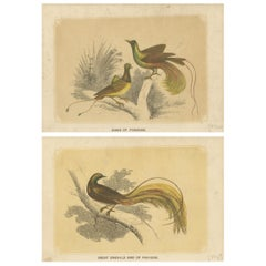 Set of 2 Antique Bird Prints, Bird of Paradise, by Bicknell 'circa 1855'