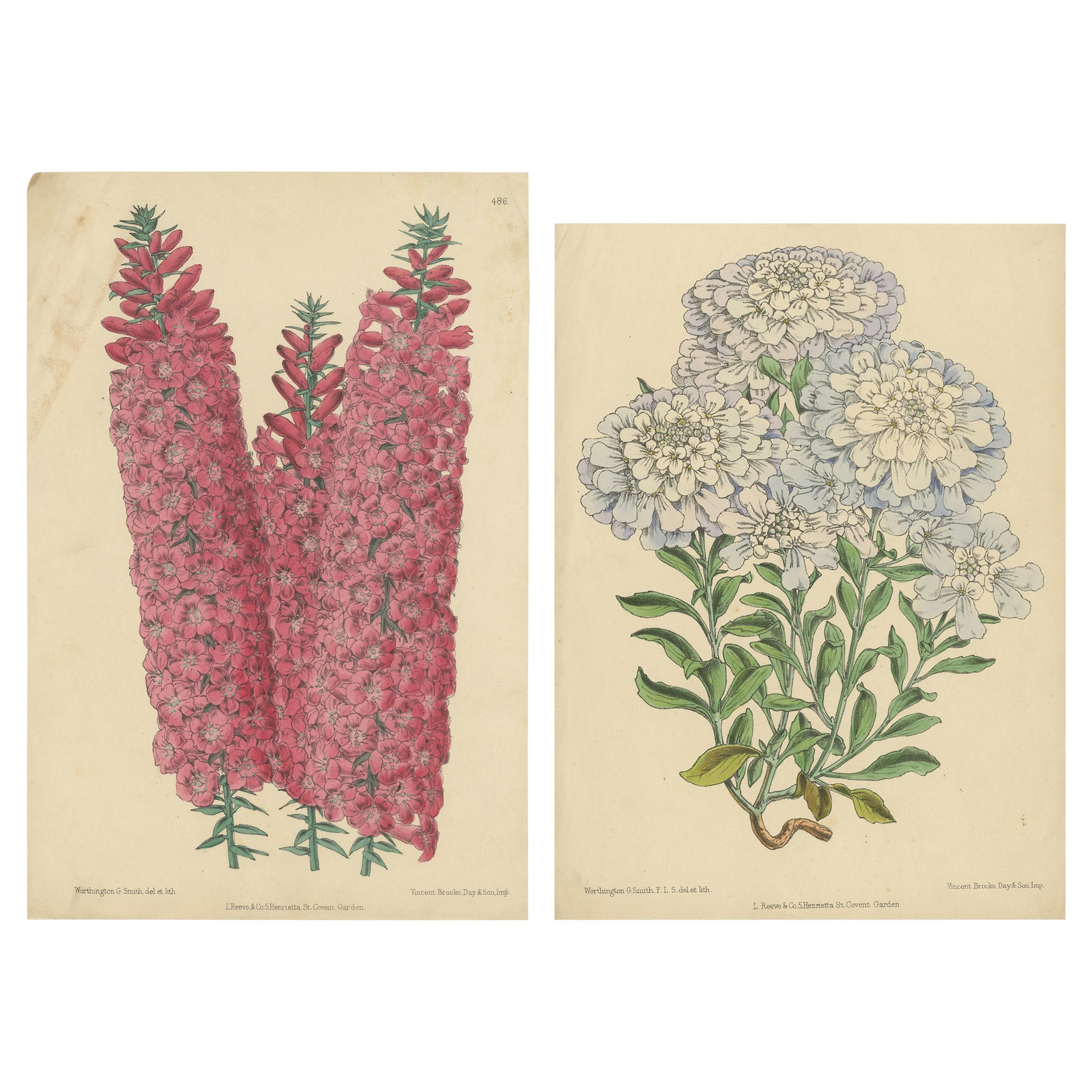 Set of 2 Antique Botany Prints by Reeve 'c.1870'