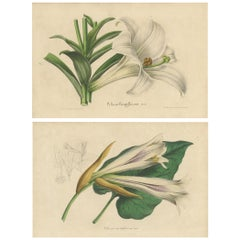 Set of 2 Antique Botany Prints of the Easter Lily and Heart-Leaved Lily '1847'