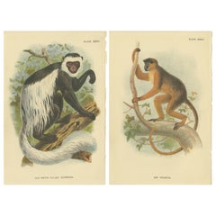 Set of 2 Antique Prints of Guereza Monkey species by Lloyd, circa 1894