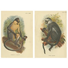Set of 2 Antique Prints of Langur Monkey Species by Lloyd, circa 1894