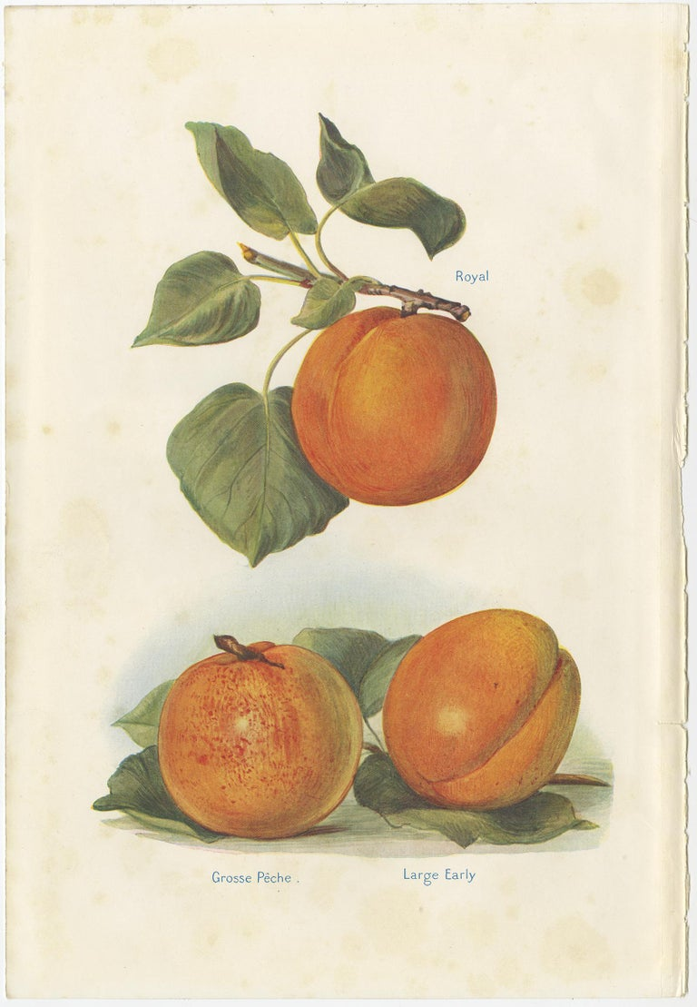 Set of two vintage lithographs of peaches including the goshawk peach, barrington peach, royal peach and others. These prints originate from 'The Fruit-Grower's Guide' by John and Horace Wright.