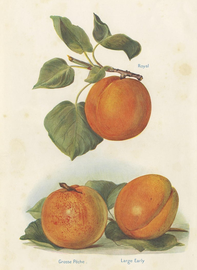 Set of 2 Vintage Fruit Prints of Various Peaches by J. & H. Wright '1924' In Good Condition For Sale In Langweer, NL