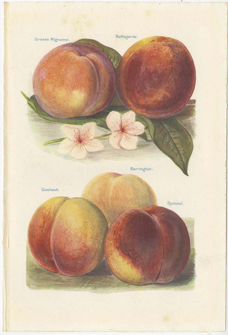 20th Century Set of 2 Vintage Fruit Prints of Various Peaches by J. & H. Wright '1924' For Sale