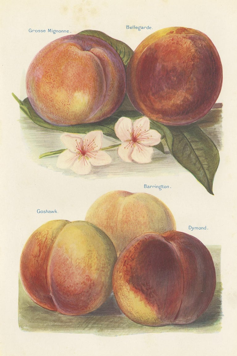 Paper Set of 2 Vintage Fruit Prints of Various Peaches by J. & H. Wright '1924' For Sale