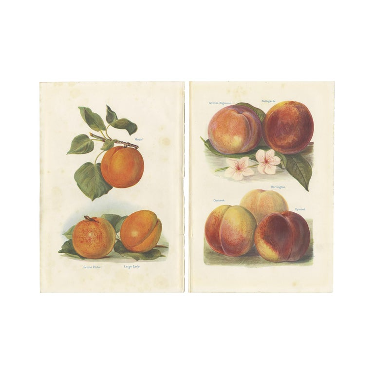 Set of 2 Vintage Fruit Prints of Various Peaches by J. & H. Wright '1924' For Sale