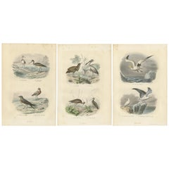 Set of 3 Antique Bird Prints of various Wading Birds and Seabirds (c.1850)