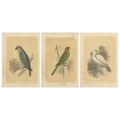 Set of 3 Antique Bird Prints, Parrot, Parakeet, by Bicknell, circa 1855