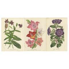 Set of 3 Antique Botany Prints, Chocolate Lily, Gladiolus, Tibouchina Elegans