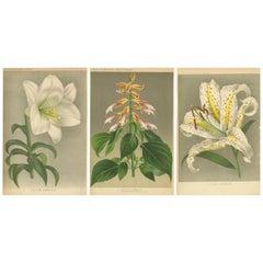 Set of 3 Antique Botany Prints, Easter Lily, Salvia Splendens, Lilium Auratum