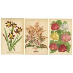 Set of 3 Antique Botany Prints, Harlequin Flower, Coleus, Abutilon 'circa 1890'