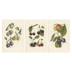 Set of 3 Vintage Fruit Prints of Various Fruit by J. & H. Wright, '1924'