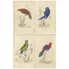 Set of 4 Antique Bird Prints - Lory - Maccaw - Parrot, 1833