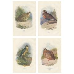 Set of 4 Antique Bird Prints Quail, Dotterel, Merlin, Red-Legged Partridge