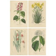 Set of 4 Antique Botant Prints, Scutellaria, Wild Lily, Clerodendron, 1847