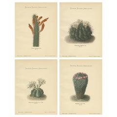 Set of 4 Antique Cactus Prints, Cereus Baumannii, Schumann, circa 1900