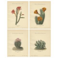 Set of 4 Antique Cactus Prints, Cereus Martianus, Schumann, 'circa 1900'