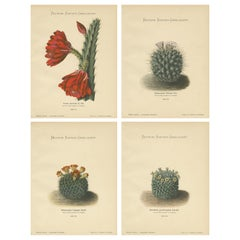 Set of 4 Antique Cactus Prints, Cereus Speciosus, Schumann, circa 1900