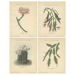 Set of 4 Antique Cactus Prints, Cereus Spinulosus, Schumann, circa 1900