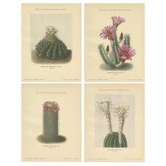 Set of 4 Antique Cactus Prints, Echinocactus Hartmannii, Schumann, circa 1900