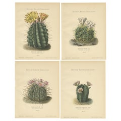 Set of 4 Antique Cactus Prints, Echinocactus Longihamatus, Schumann 'circa 1900'
