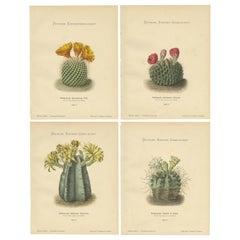 Set of 4 Antique Cactus Prints, Echinocactus Microspermus, Schumann 'circa 1900'