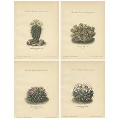 Set of 4 Antique Cactus Prints, Echinocactus Nigricans, Schumann 'circa 1900'