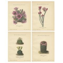 Set of 4 Antique Cactus Prints, Echinocereus Berlandieri, Schumann, circa 1900