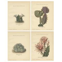 Set of 4 Antique Cactus Prints, Echinocerus Pulchellus, Schumann, 'circa 1900'