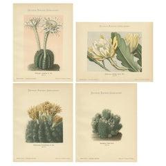 Set of 4 Antique Cactus Prints, Echinopsis Calochlora, Schumann, circa 1900