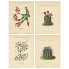 Set of 4 Antique Cactus Prints, Epiphyllum Truncatum, Schumann 'circa 1900'