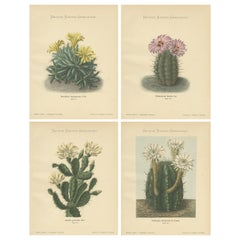 Set of 4 Antique Cactus Prints, Mamillaria Longimamma, Schumann, circa 1900