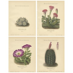 Set of 4 Antique Cactus Prints, Mamillaria Schiedeana, Schumann 'circa 1900'