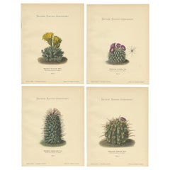 Set of 4 Antique Cactus Prints, Mamillaria Wissmannii, Schumann, 'circa 1900'