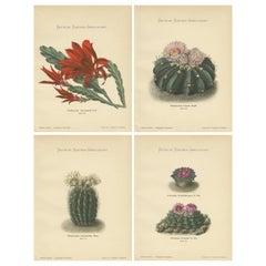 Set of 4 Antique Cactus Prints, Phyllocactus Ackermannii, Schumann, 'circa 1900'