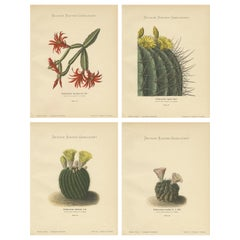 Set of 4 Antique Cactus Prints, Phyllocactus Gaertneri, Schumann, 'circa 1900'