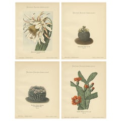 Set of 4 Antique Cactus Prints, Phyllocactus Thomasianus, Schumann, 'circa 1900'
