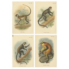 Set of 4 Antique Prints of Guenon Monkey Species by Lloyd, 'circa 1894'