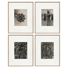 Set of 4 Karl Blossfeldt Black White Flower Photogravure Botanic Photography