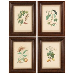 Set of 4 Maria Sibylla Merian Insect and Plant Watercolor Plate Prints